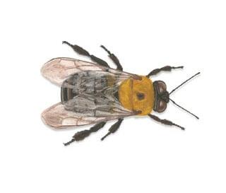 Fiji - Carpenter bees (Xylocopa spp.)