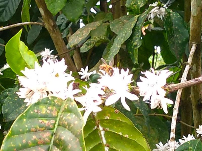 Honey bee on coffee flower in Fiji. Photo: Helen Sykes