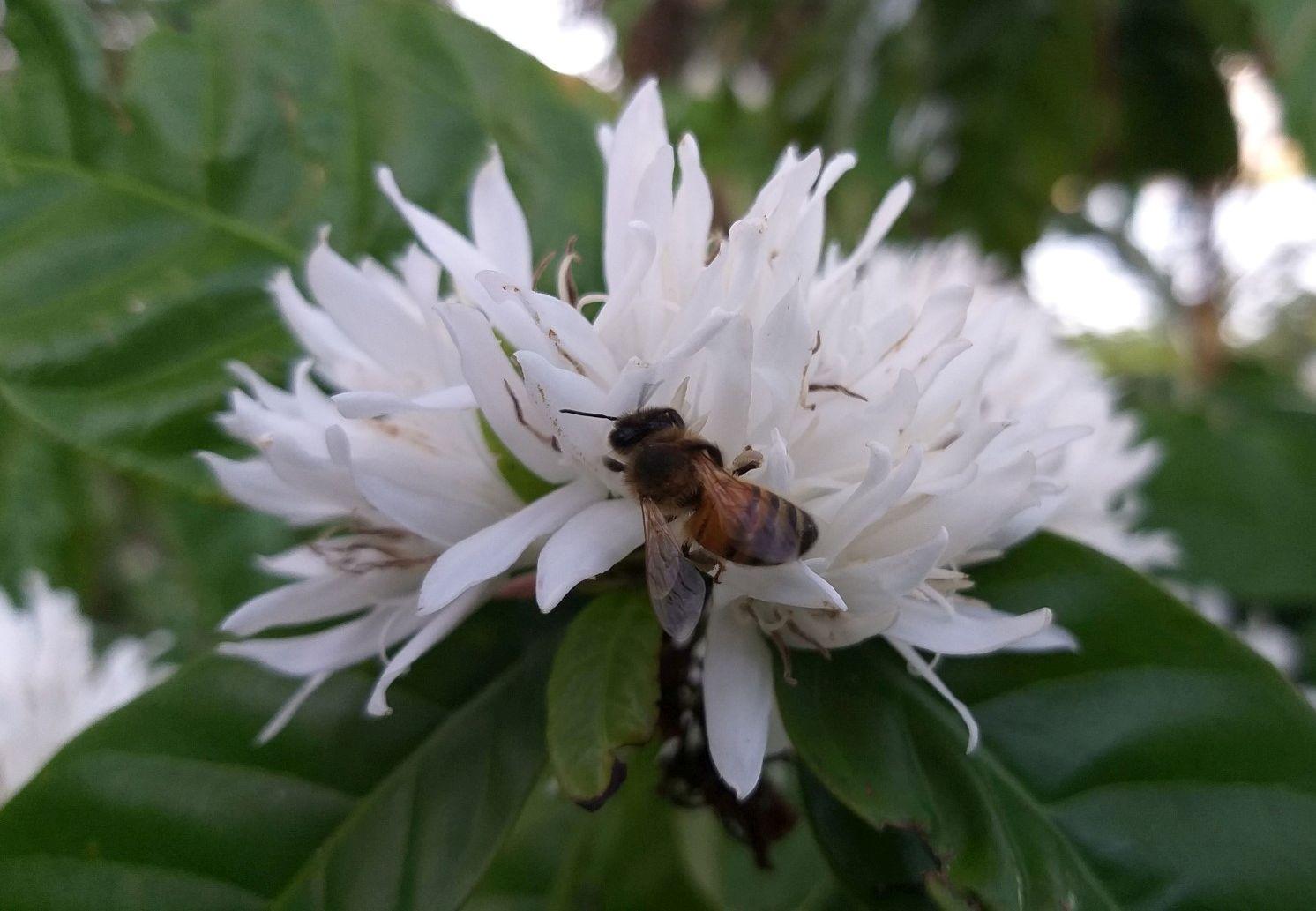 bee-on-coffee-flower