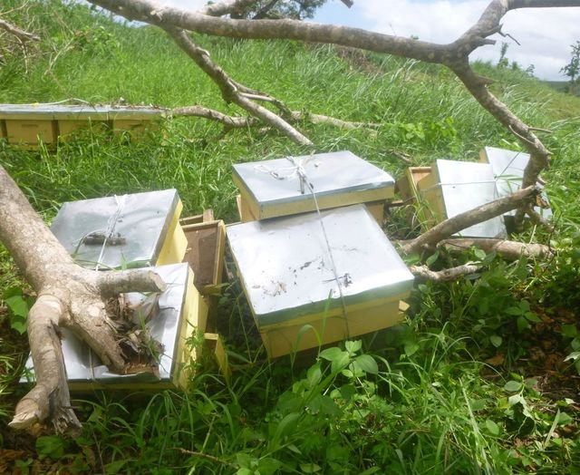 During Cyclone Winston we learned that almost all the hives in the hardest hit areas topple over. The main difference between losing only 10% or 20% of bee colonies and losing 70% or more was whether the beekeeper roped or strapped the hives so that the hive bottom, boxes and lid all stayed together with the frames inside. Photo: John Caldera